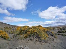 sand dunes with yellow flowers in desert under blue sky, Patagonia
