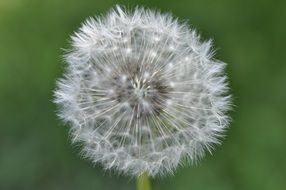 dandelion in a green meadow close up