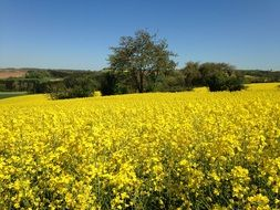 rapeseed field as a decoration of the countryside