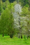 white blooming tree among green ones, Spring landscape