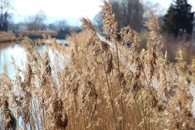 Reed Water Bank Nature Grass