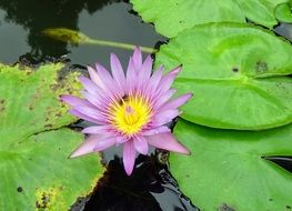 light purple water lily among leaves on the water