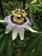 passion flower in green thicket close up