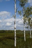 birch trees in a nature reserve