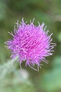 thistle like a flower