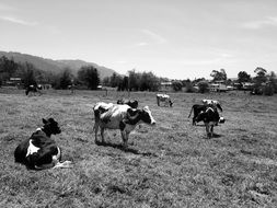 cows in a pasture in black and white image