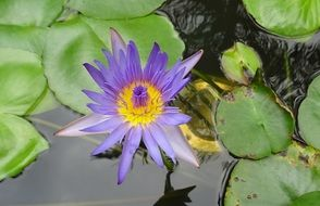 pond with purple water lily