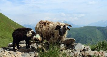 lambs in the Alps mountain