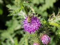 thistle with purple inflorescences