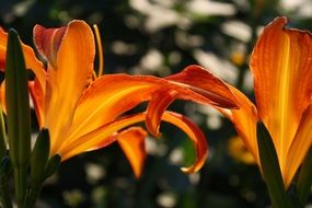 orange lilies under the bright sun close up