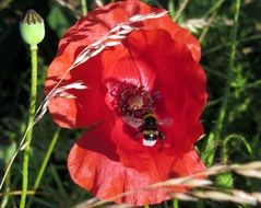bee pollinating red poppy