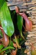 Colorful toxic pitcher plant