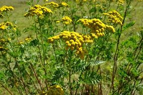 yellow Tansy Flower outdoors