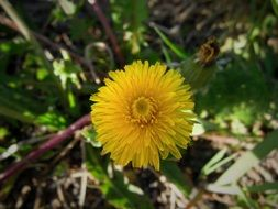 yellow dandelion among different plants