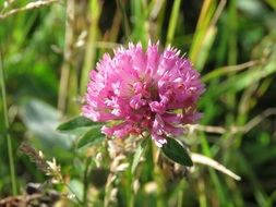 fluffy red clover on the wild meadow