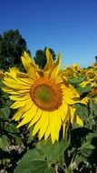big sunflower in the field