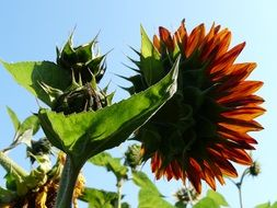 sunflower with a green stalk against a blue sky