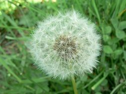 fluffy dandelion seeds on the stem