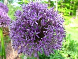 spherical violet inflorescence of allium