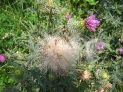 thistle plant seeds