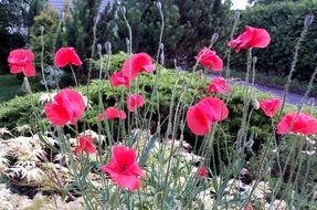 beautiful colorful and fragrant Poppy Flowers