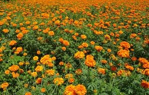 Orange Marigold Flowers Field