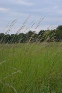 Meadow Grasses