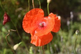 red poppy summer flower