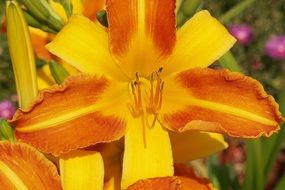 Colorful daylily flowers blossom