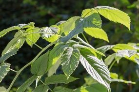 raspberry bush green leaves
