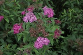 spiraea is an ornamental shrub
