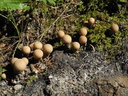 group of Small puffball mushrooms on forest floor