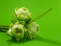 bouquet of three white lotuses