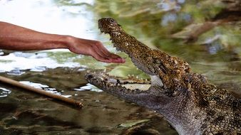 hand of a man in the jaws of a crocodile