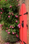red gate and rose bush