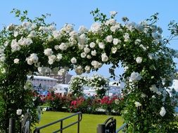 picture of the white roses on a arch in Verny Park