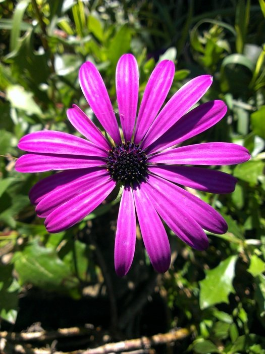 captivating African Daisy