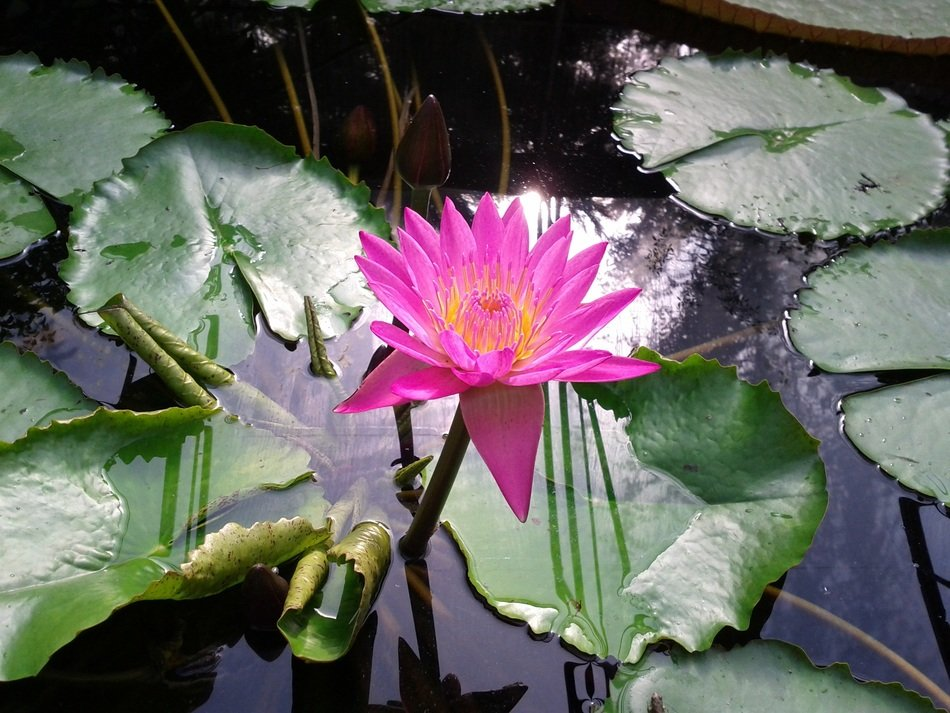 pink lotus on a pond with green leaves