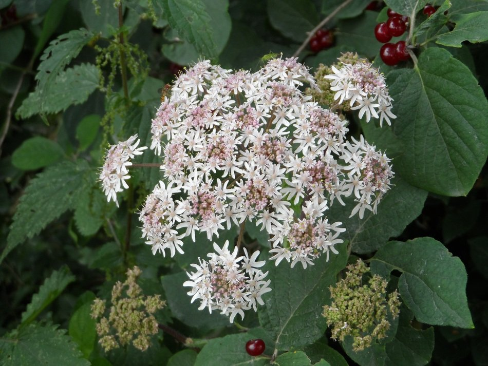lush inflorescence of hogweed