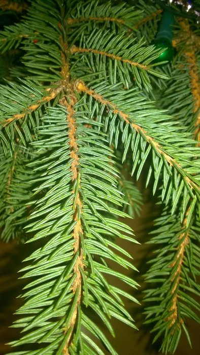 close up photo of green spruce branch