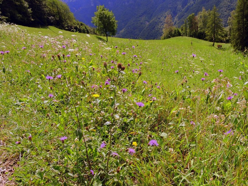 flowering mountain meadow on a sunny day