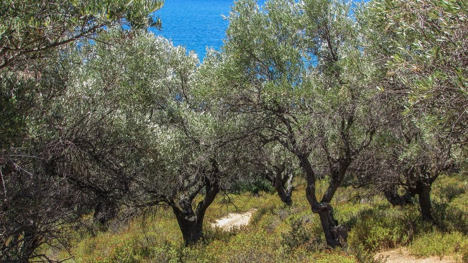Olive trees in countryside