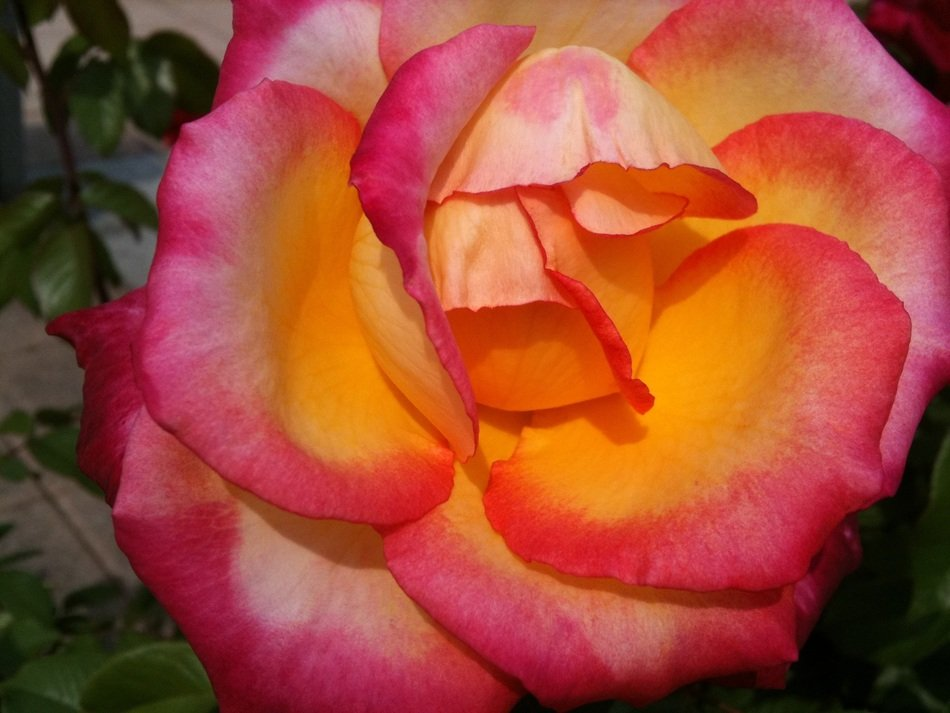 delightful delicate beauty yellow pink rose