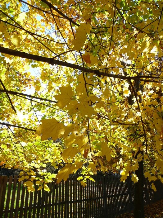 Autumn yellow Leaf tree