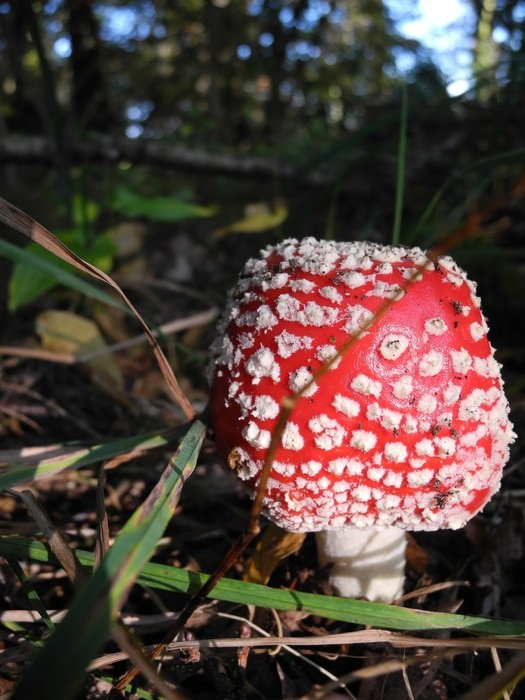 fly agaric or amanita