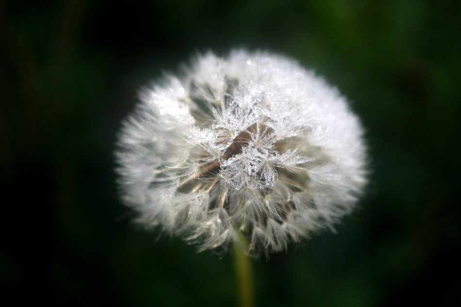 fluff of white dandelion on a stalk