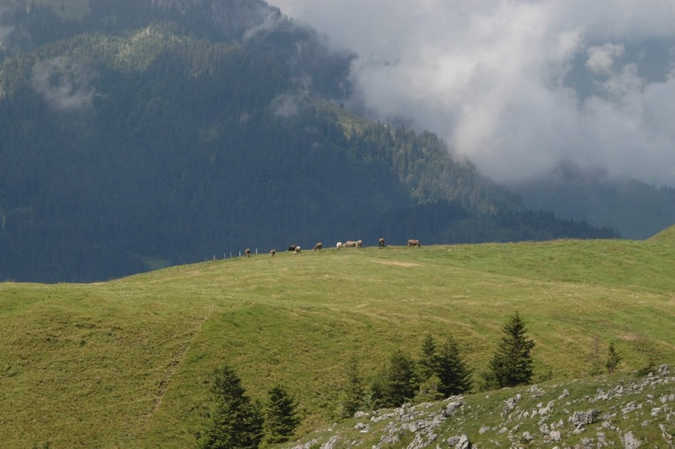 Mountains with Cows pasturing Landscape, switzerland