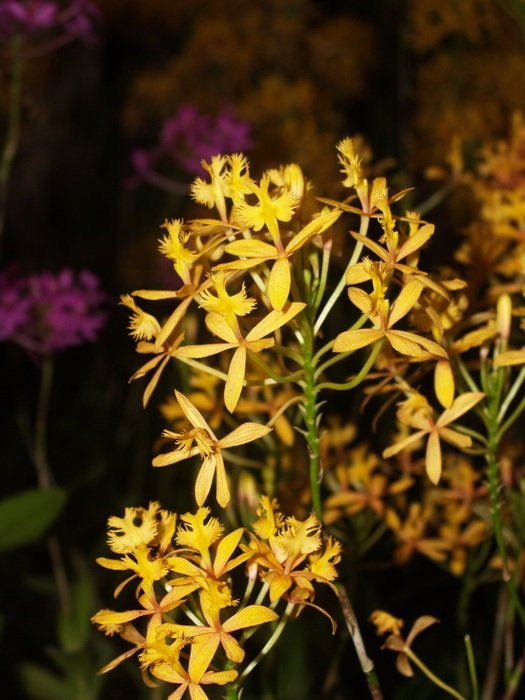 small yellow orchids close-up