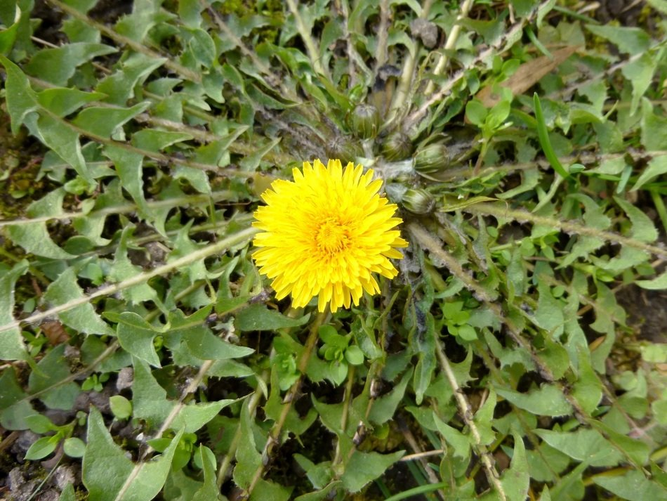 top view of Yellow Dandelion Flower in center of green leaves
