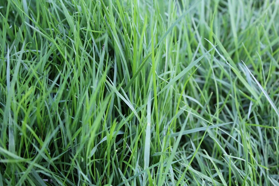 tall green grass close up